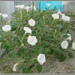 チョウセンアサガオの種と実は危険!朝鮮朝顔の花言葉|成分&画像